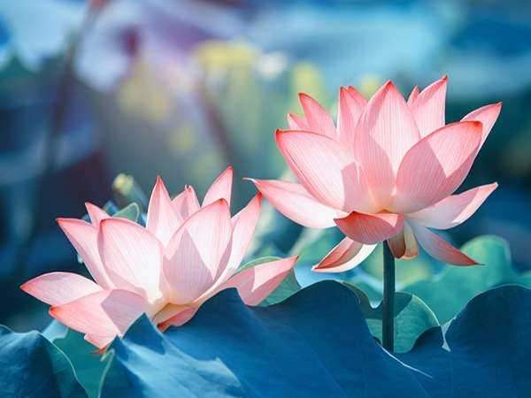 Mơ thấy hoa sen là điềm báo gì