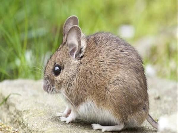 Mơ thấy con chuột là điềm báo gì