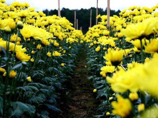 Mơ thấy hoa vàng điềm báo gì đánh số gì