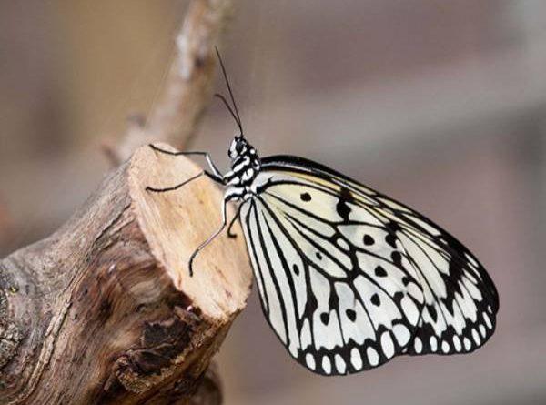 nằm mơ thấy bướm