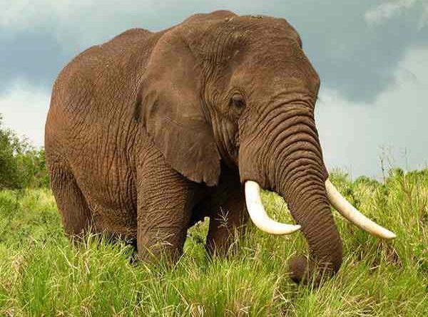 Nằm mơ thấy voi đánh con gì ăn chắc dễ trúng, có điềm báo gì