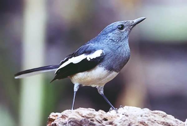 Giải mã điềm báo giấc mơ thấy chim chích chòe là gì?