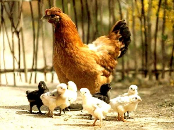Giải mã điềm báo giấc mơ thấy đàn gà là gì?