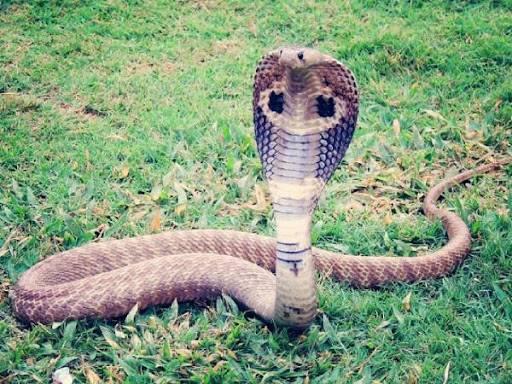 Nằm mơ thấy rắn hổ mang có ý nghĩa gì trong cuộc sống