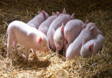 Nằm mơ thấy đàn lợn đánh con gì ăn chắc, có điềm báo gì