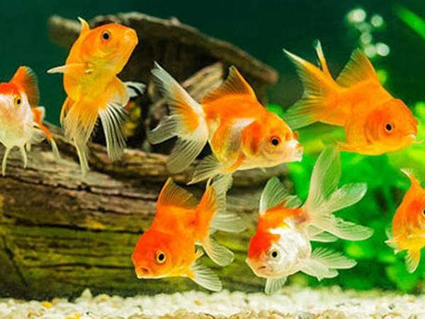 Mơ thấy cá vàng là điềm gì? Đánh con gì chuẩn nhất?